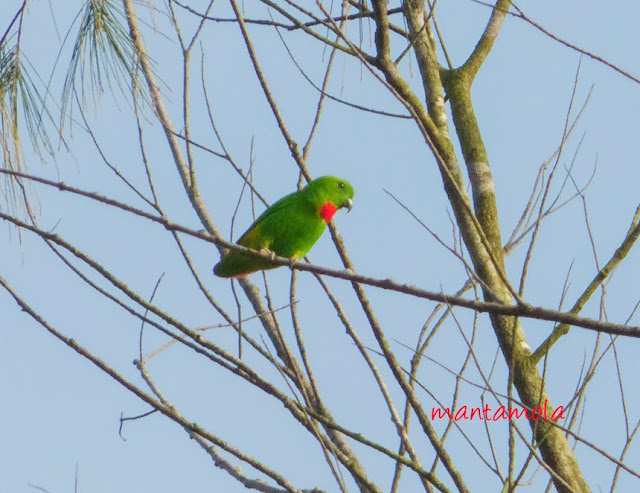 Blue-Crowned Hanging Parrot ( Loriculus galgulus)