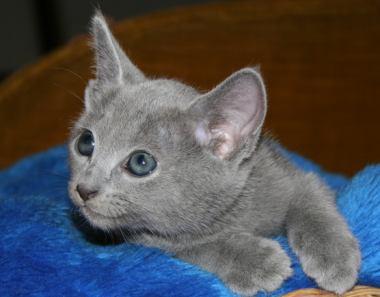Magazines-24: Russian blue kittens & russian blue kittens ...