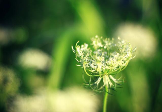 white_yarrow_bud_wild_flowers_Oklahoma