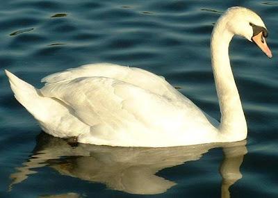 Foto de un cisne nadando