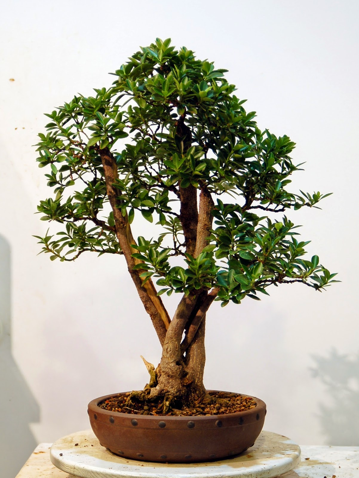 Heart Of Texas Bonsai