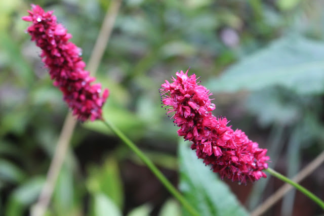 Close-up of Persicaria 'Fat Domino'