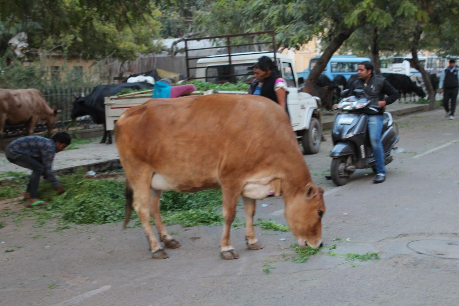India : tehenek etetése