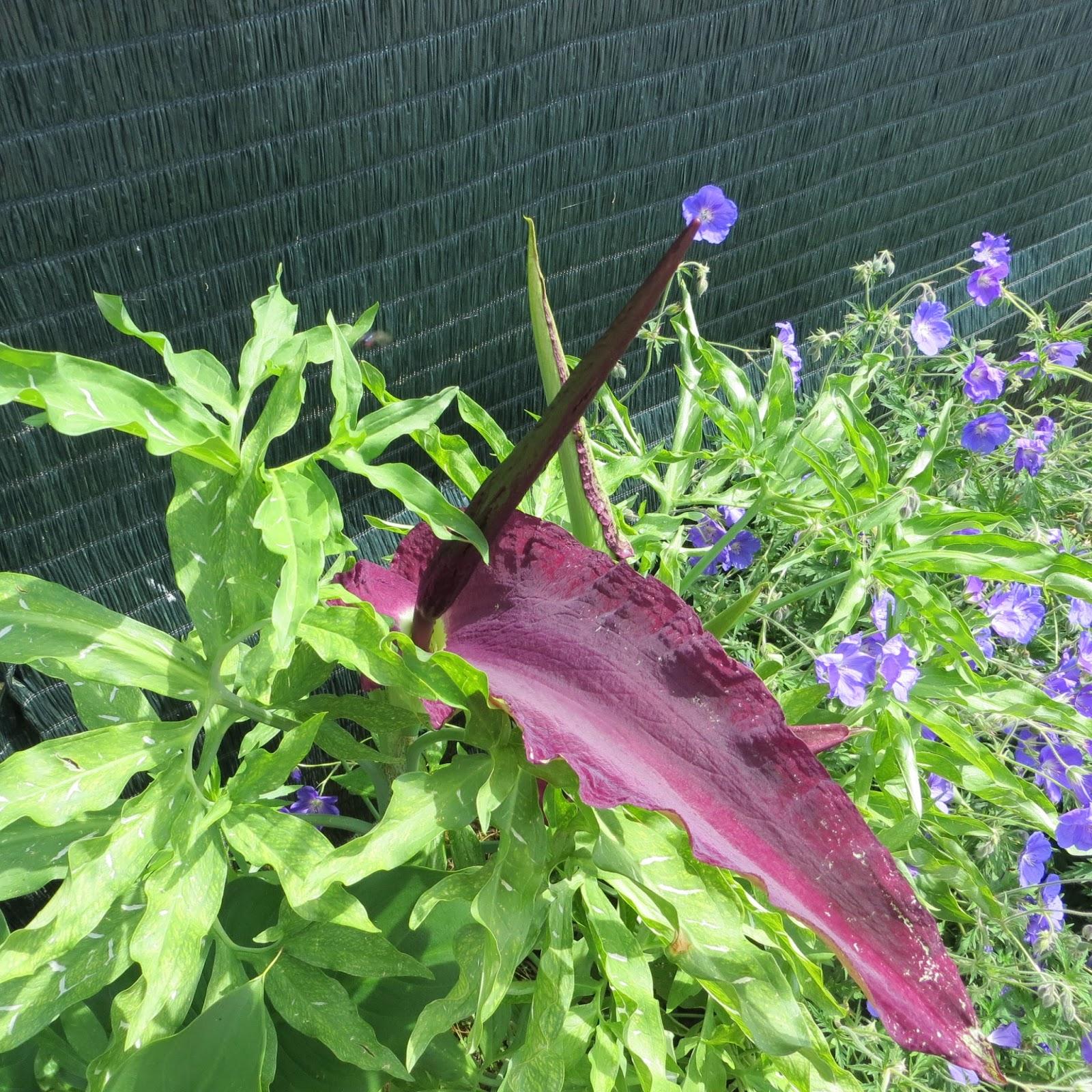 cocotte forever: une plante étrange dans mon jardin : l'arum puant !