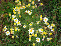 chamomile, Asteraceae, sunflower family