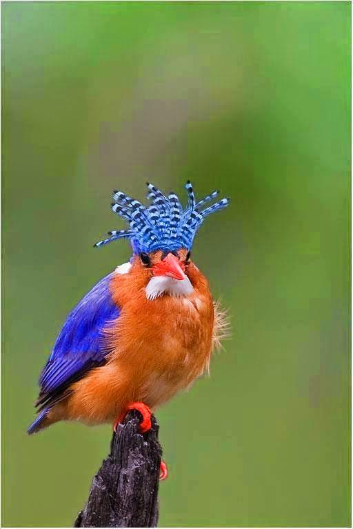 A foto em fundo esverdeado e desfocado, mostra um Martim-Pescador Malaquita (Alcedo cristata), pássaro de pequeno porte com cerca de treze centímetros de comprimento, nativo da região da África subsahariana.Ele está pousado na ponta de um tronco de árvore seco. A plumagem das asas fechadas atrás das costas é azul com brilho metálico. A carinha e restante do corpo são cobertos por plumas alaranjadas; na parte traseira do pescoço, uma listra branca e abaixo do bico vermelho reto, um bigode espesso branco. A cauda é bem curta e as garras são em vermelho brilhante. A cabeça é adornada por um tufo alto aberto em leque em listras horizontais em azul e preto.