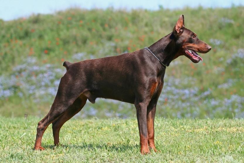 About Dog German Pinsc...