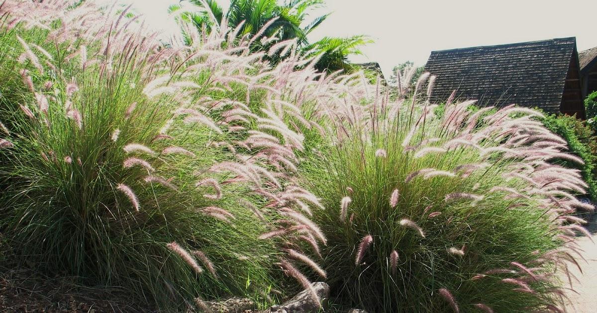 Ornamental Grasses Kenya : Biotope design african grasses