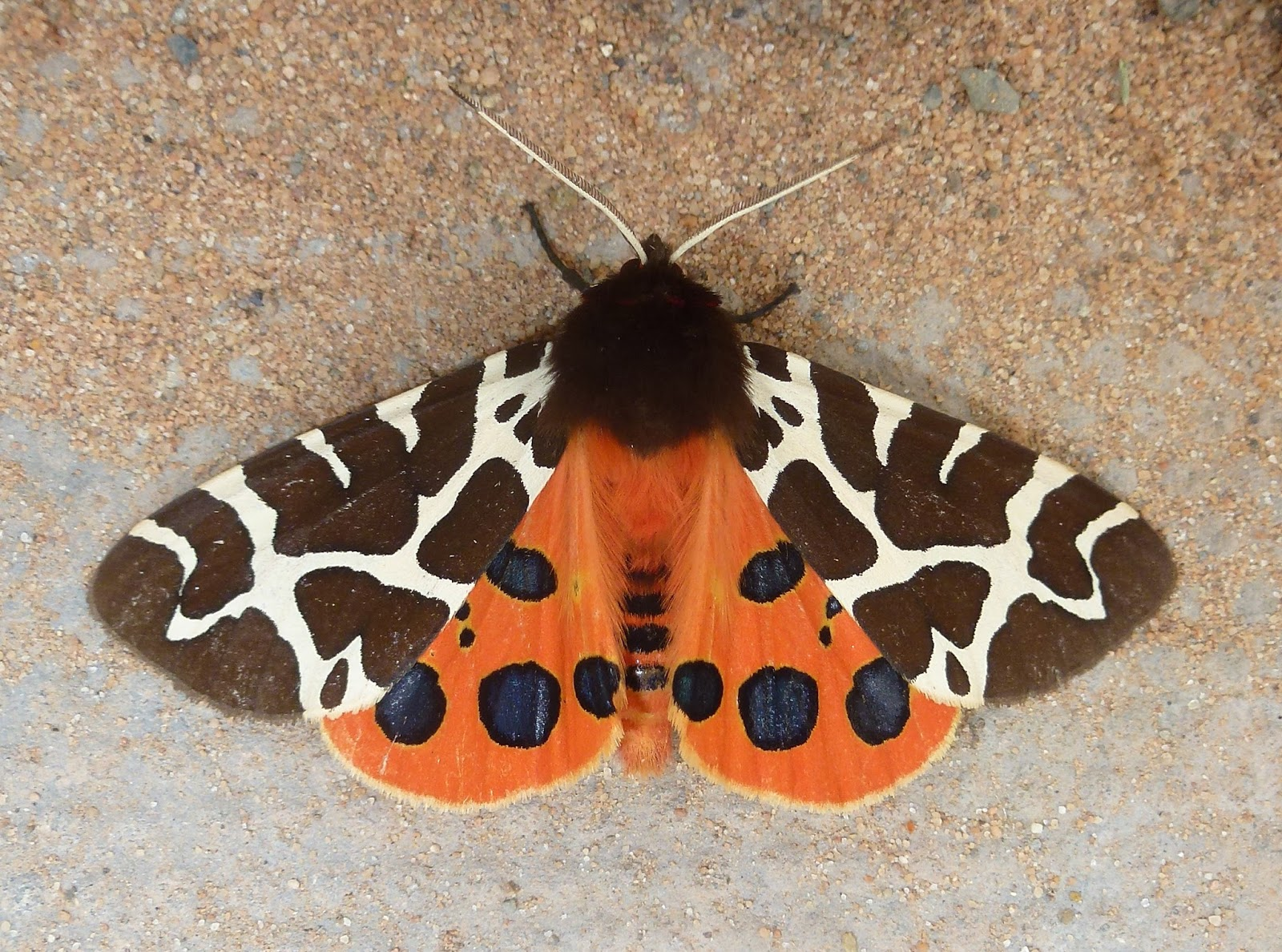 Hereford and Worcester Moths: July 2015