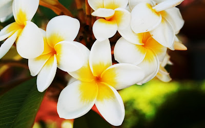 Plumeria 3D Hd Widescreen Wallpapers