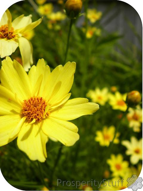 Yellow Perennial - Creme Brulee Coreopsis - closeup