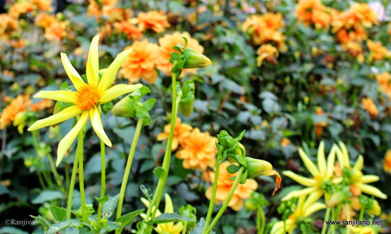 sublimes dahlias fleurs d 39 automne paysages et fleurs au fil de l 39 eau. Black Bedroom Furniture Sets. Home Design Ideas