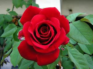 Bunga Mawar Cantik