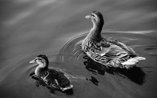 Baby Duck and Mother Duck Swimming Greyscale HD Wallpaper