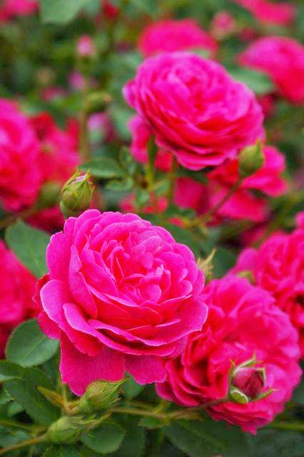 Most Beautiful Roses Wallpapers Collection For Ever For