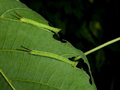 Marumba amboinicus celebensis caterpillar