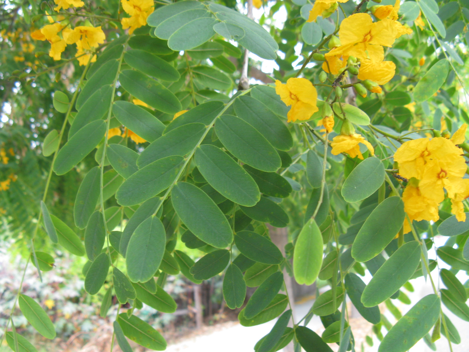 Trees of santa cruz county tipuana tipu tipu tree light yellow flowers borne in early summer in terminal panicles pea like differs from cassia which is not really pea like orange yellow flowers mightylinksfo