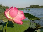 LA LEGGENDA DEI FIORI DI LOTO. I laghi di Mantova regalano anche leggende .