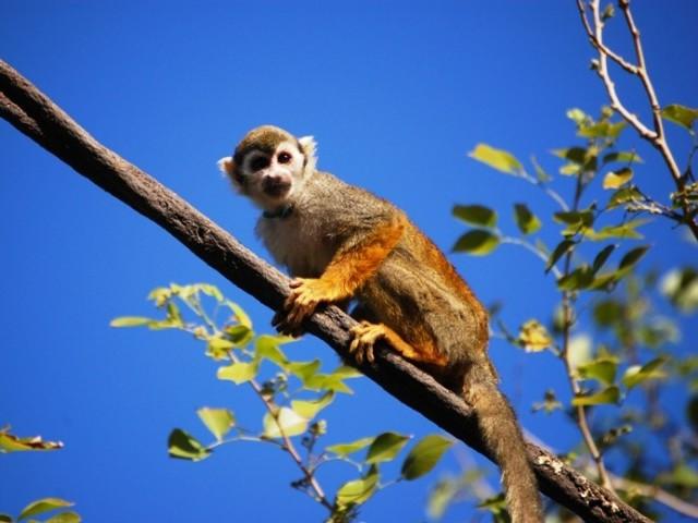 Pakistan Arrested Monkey Pakistan Arrests Indian