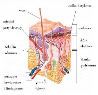 Budowa i funkcje skóry- wstęp