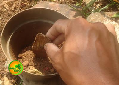 FOTO 3: Memasukan biji mangga.