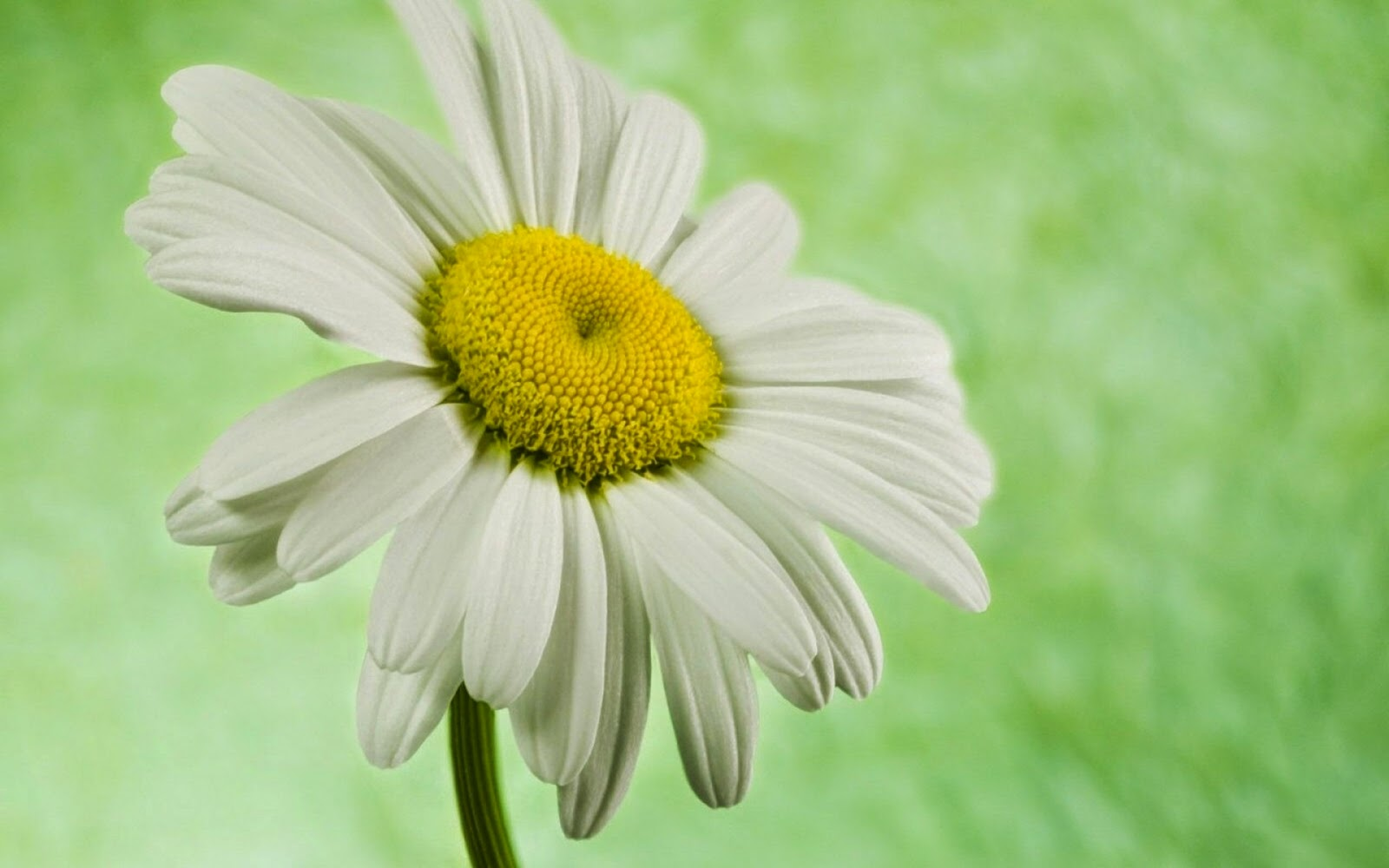 single-white-daisy-flower-image.jpg