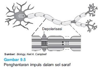 Mekanisme proses penghantaran implus berbagi ilmu pengetahuan penghantaran impuls pada sel saraf ccuart Choice Image