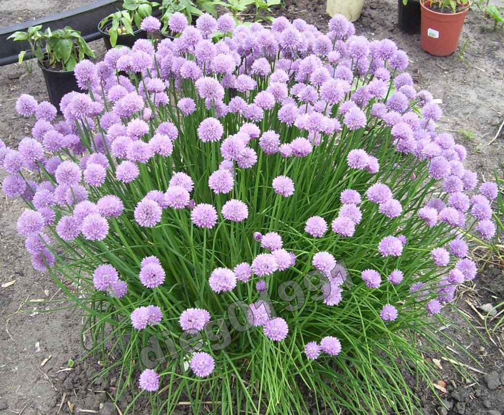 how to take care of allium after blooming