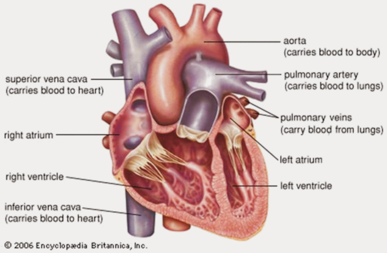 Heart anatomy test