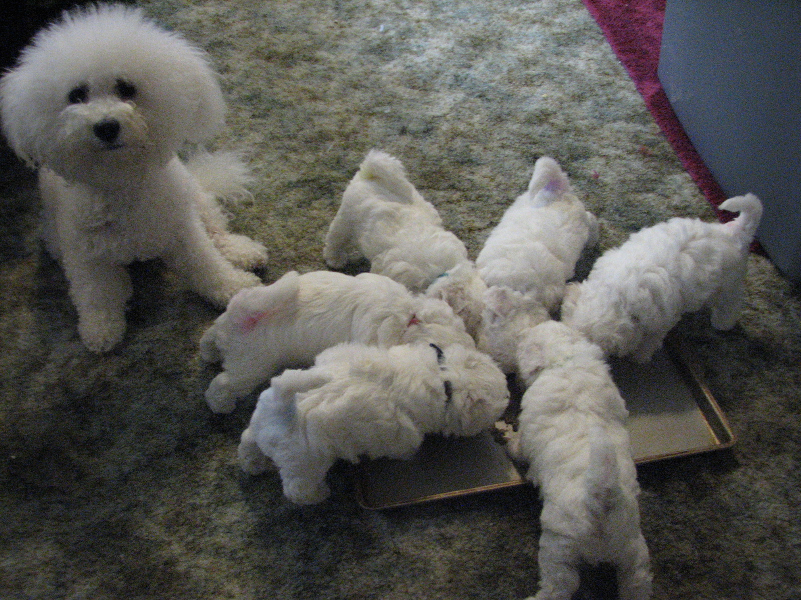 Such Good Dogs: Breed of the MonthBichon Frise