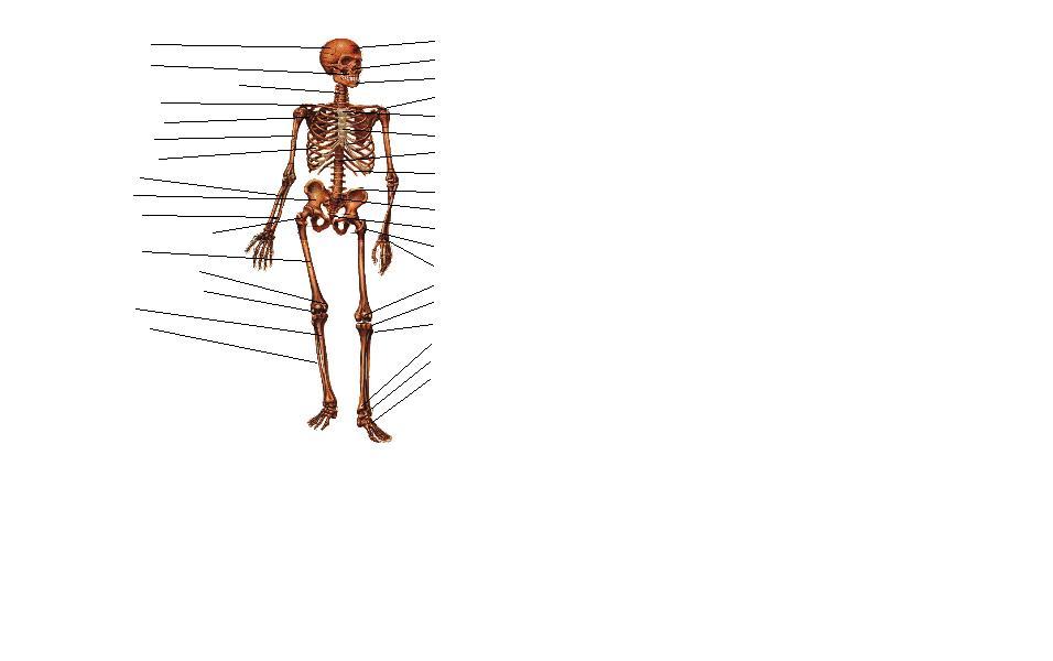 Dibujo del sistema oseo sin nombres - Imagui