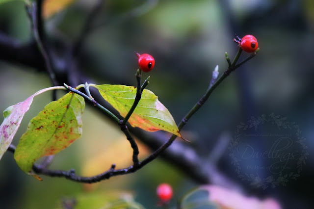 The dogwood leaves are turning fall colors and is full of red berries.
