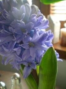 Modrofialový hyacint z loňska