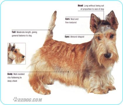 Corte de pelo del scottish terrier