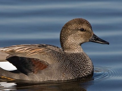 Gadwall (duck) | Facts About All