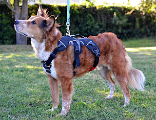 Brisbane models the Ruffwear Webmaster harness