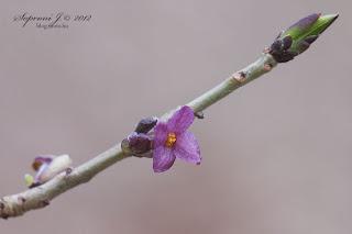Farkasboroszlán (Daphne mezereum)