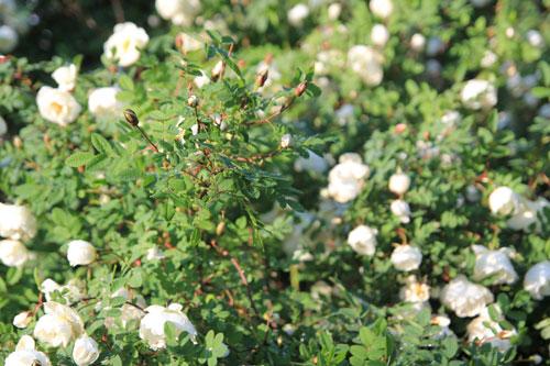 Juhannusruusu pensas