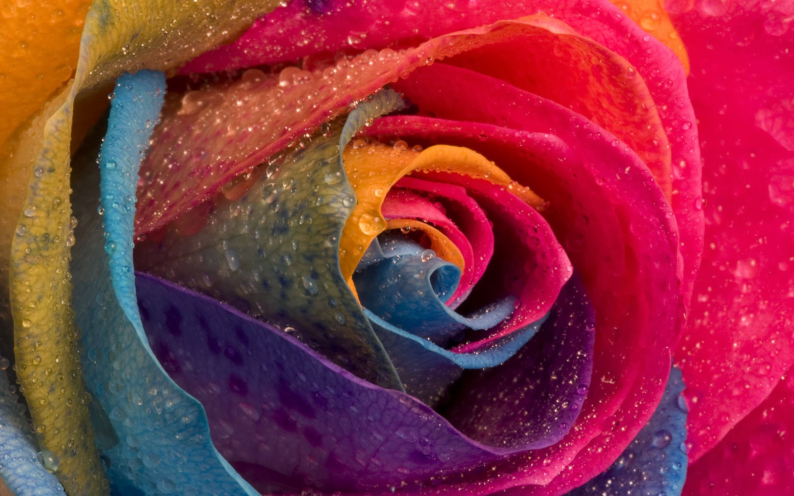 wallpapers colorful rose wallpapers