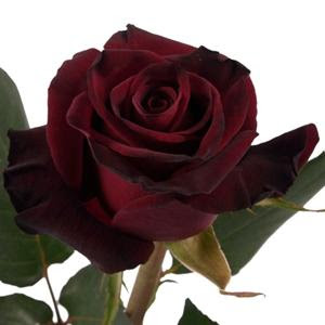 Dark Red Rose Photos