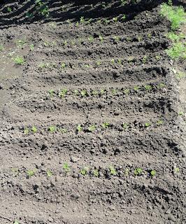 Между рядками морковки делаю канавки