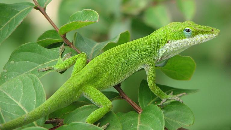 Lizard HD Wallpaper 10
