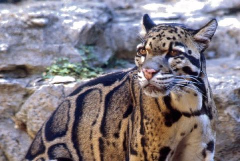 Clouded Leopard Information Facts Habitat Adaptations