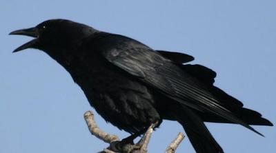 Kisah Insfirasi Seorang Ayah Dan Seekor Burung Gagak