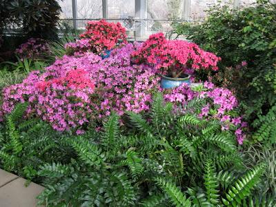 Azaleas spring show Garfield Park conservatory