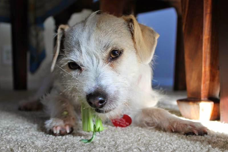 Cachorro pode comer brócolis?