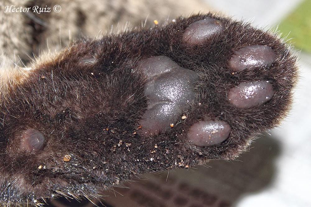 proyecto gato montés wildcat project identificación de gato
