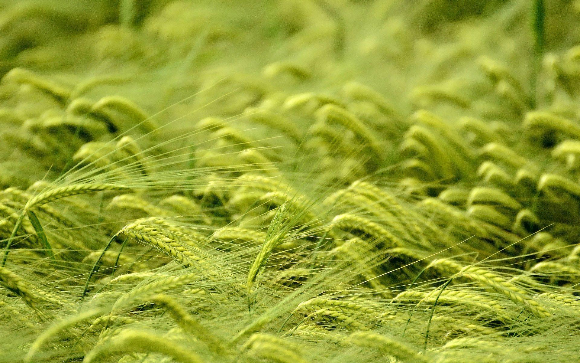 http://1.bp.blogspot.com/-u_ds38oBYak/ULtsW7bYIxI/AAAAAAAAOKM/Lq0jbl8owfc/s1920/corn-field-wallpaper.jpg
