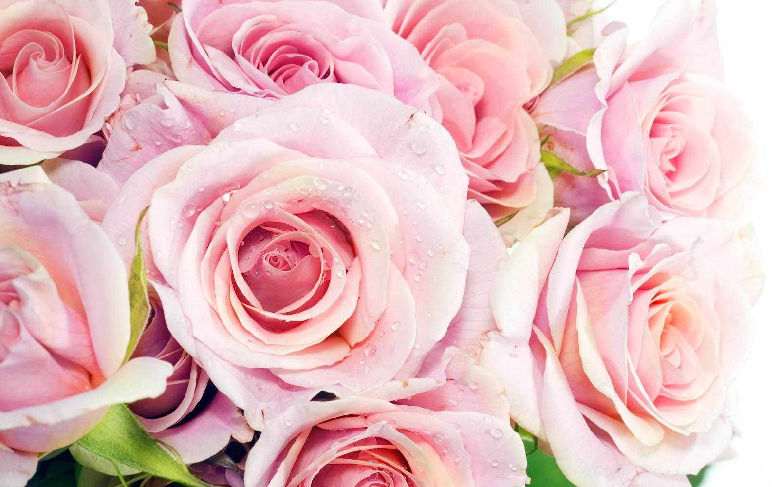 http://1.bp.blogspot.com/-u_tOgUYAUkI/UEXIqeGib0I/AAAAAAAAJQ8/FXHUyghNxPI/s1600/Pink+Rose+Wallpapers+2.jpg