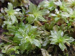 Musgos (Bryophyta)